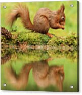 Red Squirrel Reflection Acrylic Print