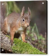 Red Squirrel - Scottish Highlands   #23 Acrylic Print