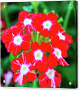 Red Star Flower Acrylic Print