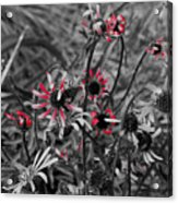 Red Streaks Acrylic Print
