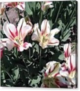 Red Stripe Tulips Acrylic Print