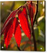 Red Sumac Leaves Acrylic Print