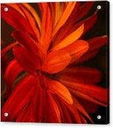 Red Sunflower 1 Acrylic Print