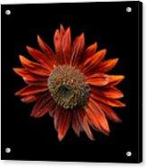 Red Sunflower On Black Acrylic Print
