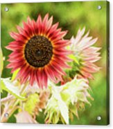 Red Sunflower, Provence, France Acrylic Print