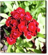 Red Sweet William Acrylic Print