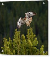 Red-tail Flight At Sunset Acrylic Print