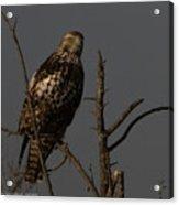 Red-tail Hawk 2 Acrylic Print