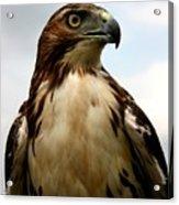 Red Tail Hawk 2 Acrylic Print