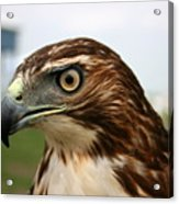 Red Tail Hawk 3 Acrylic Print
