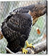 Red Tail Hawk Facing Right Acrylic Print
