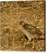 Red Tail Hawk Walking Acrylic Print