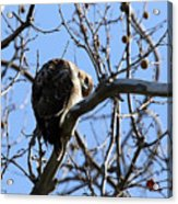 Red Tail IIi Acrylic Print