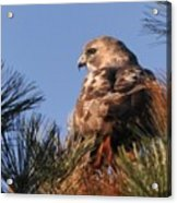 Red Tail In The Pines Acrylic Print