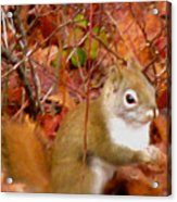 Red Tail Squirrel  Acrylic Print