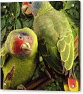 Red-tailed Amazon Amazona Brasiliensis Acrylic Print