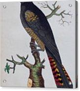 Red-tailed Black Cockatoo 1790 Acrylic Print