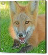 Red Tailed Fox Acrylic Print