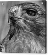Red-tailed Hawk 2 Acrylic Print