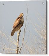Red Tailed Hawk 20100101-5 Acrylic Print