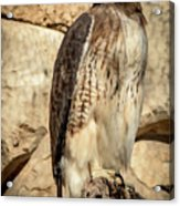 Red-tailed Hawk 4 Acrylic Print