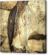 Red-tailed Hawk 5 Acrylic Print