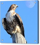 Red Tailed Hawk And Moon Acrylic Print
