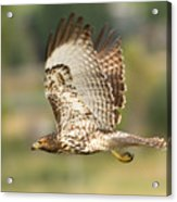 Red Tailed Hawk Hunting Acrylic Print