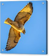 Red Tailed Hawk II Acrylic Print