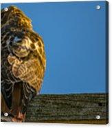 Red Tailed Hawk  IIi  Acrylic Print