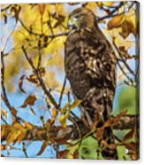 Red-tailed Hawk In Fall Color Acrylic Print