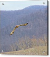 Red Tailed Hawk In Flight Acrylic Print