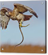 Red-tailed Hawk In Flight With Snake Acrylic Print