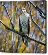Red-tailed Hawk In The Fall Acrylic Print