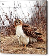 Red Tailed Hawk In The Field Acrylic Print