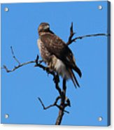 Red Tailed Hawk Acrylic Print by Kathy DesJardins