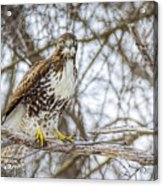 Red Tailed Hawk,  Acrylic Print