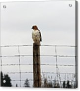 Red Tailed Hawk On The Lookout Acrylic Print