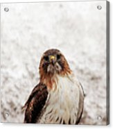 Red Tailed Hawk Portrait Acrylic Print