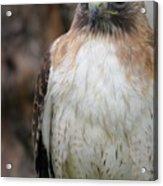 Red-tailed Hawks Acrylic Print