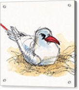 Red-tailed Tropicbird On Aitutaki Acrylic Print