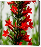 Red Texas Plume Flowers Acrylic Print