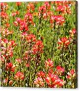 Red Texas Wildflowers Acrylic Print