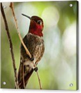 Red Throated Hummingbird Acrylic Print