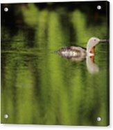 Red Throated Loon Acrylic Print