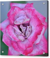 Red Tipped Pink Rose Acrylic Print