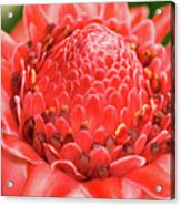 Red Torch Ginger Acrylic Print