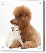 Red Toy Poodle And Kitten Acrylic Print