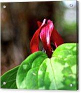 Red Trillium Acrylic Print