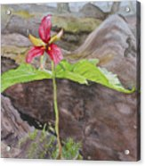 Red Trillium In The Spring  Acrylic Print